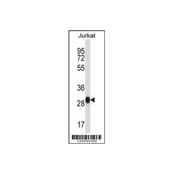 ANP32A antibody - center region (OAAB10028) in Jurkat cells using Western Blot