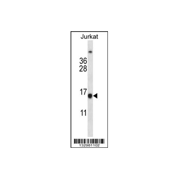 BCL2 antibody - center region (OAAB10121) in Jurkat cells using Western Blot