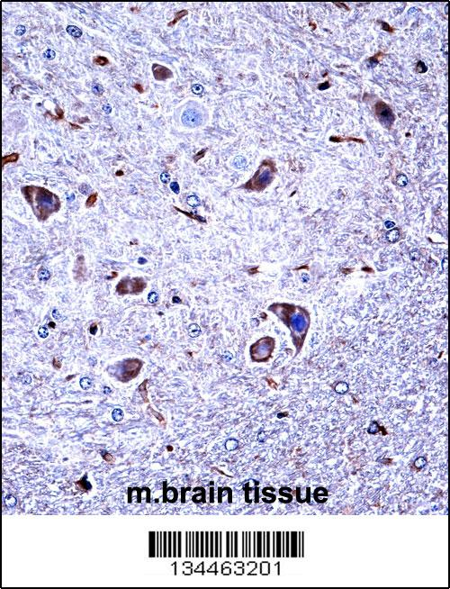 Mouse Csnk1g1 antibody - C - terminal region (OAAB10434) in Mouse Brain cells using Immunohistochemistry