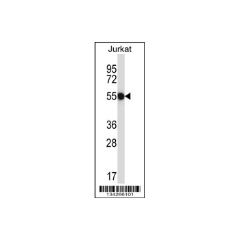 CNOT2 antibody - center region (OAAB10538) in Jurkat cells using Western Blot
