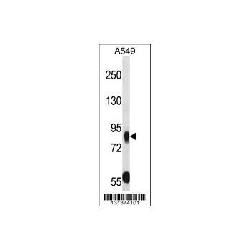 MUPCDH antibody - N - terminal region (OAAB10641) in A549 cells using Western Blot