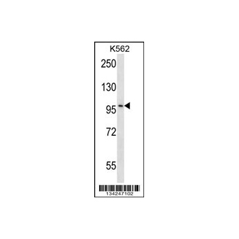 CARD10 antibody - center region (OAAB10671) in K562 cells using Western Blot