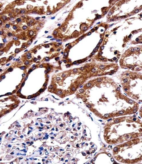 BIRC2 antibody - center region (OAAB10716) in Human Kidney cells using Immunohistochemistry
