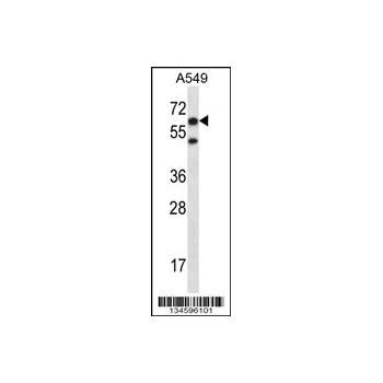 CHFR antibody - C - terminal region (OAAB10732) in A549 cells using Western Blot