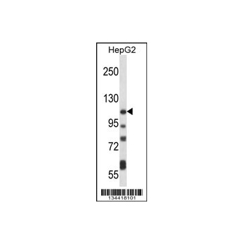 ATP2B4 antibody - C - terminal region (OAAB10847) in HepG2 cells using Western Blot
