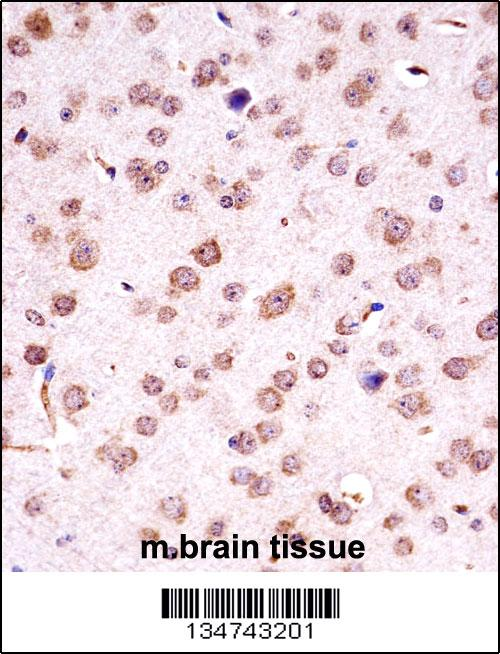 Mouse Chuk antibody - C - terminal region (OAAB10936) in Mouse Brain cells using Immunohistochemistry
