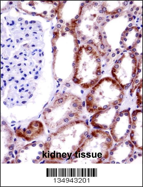 CD70 antibody - center region (OAAB11075) in Human Kidney cells using Immunohistochemistry