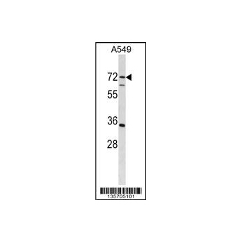 CDADC1 antibody - C - terminal region (OAAB11715) in A549 cells using Western Blot