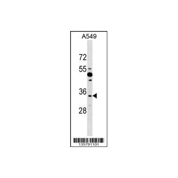 BOLL antibody - N - terminal region (OAAB11739) in A549 cells using Western Blot