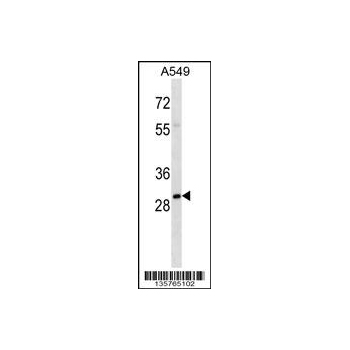 THOC4 antibody - center region (OAAB11817) in A549 cells using Western Blot