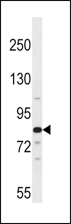 ARNT2 antibody - center region (OAAB11962) in 293 cells using Western Blot