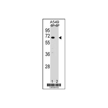 ASB3 antibody - N - terminal region (OAAB12167) in A549 cells using Western Blot