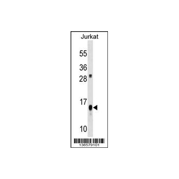 ATP5D antibody - C - terminal region (OAAB12253) in Jurkat cells using Western Blot