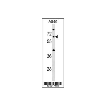 CDC14A antibody - C - terminal region (OAAB12640) in A549 cells using Western Blot