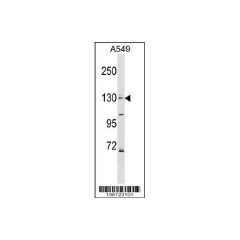 COL4A6 antibody - center region (OAAB12727) in A549 cells using Western Blot