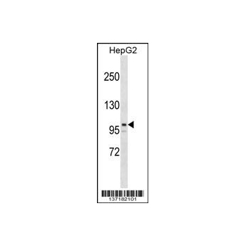 ARID5B antibody - center region (OAAB12880) in HepG2 cells using Western Blot