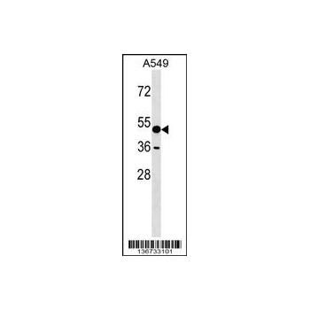 AMY1A antibody - C - terminal region (OAAB12988) in A549 cells using Western Blot
