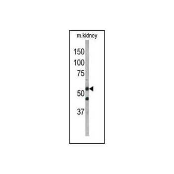 ATG4D antibody - center region (OAAB13592) in Mouse Kidney cells using Western Blot