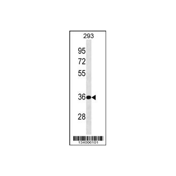 BPHL antibody - center region (OAAB13742) in 293 cells using Western Blot