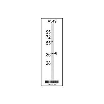 BARHL1 antibody - N - terminal region (OAAB14032) in A549 cells using Western Blot