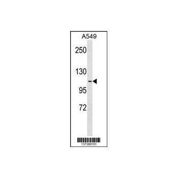 APOB48R antibody - center region (OAAB14196) in A549 cells using Western Blot