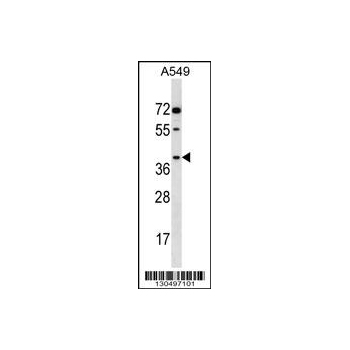 AKR1E2 antibody - C - terminal region (OAAB14259) in A549 cells using Western Blot