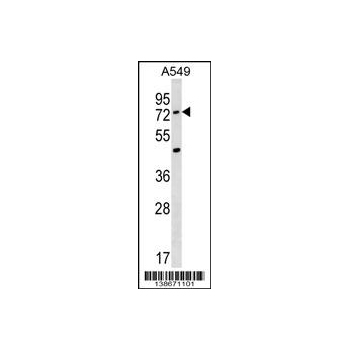 ACSM2A antibody - N - terminal region (OAAB14296) in A549 cells using Western Blot