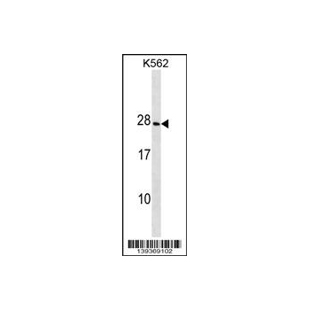 CRYGD antibody - center region (OAAB14354) in K562 cells using Western Blot
