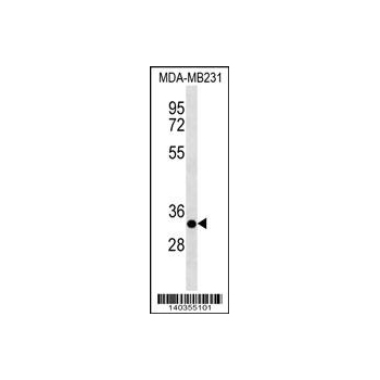 CAPNS2 antibody - center region (OAAB14937) in MDA-MB231 cells using Western Blot