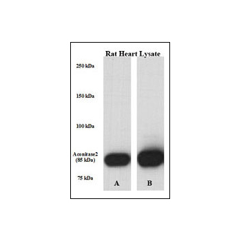 ACO2 antibody - center region (OAAB14953) in ACO2, Rat Heart cells using Western Blot