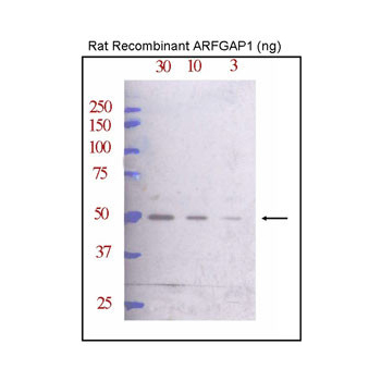 ARFGAP1 antibody - C - terminal region (OAAB15837) in Rat cells using Western Blot