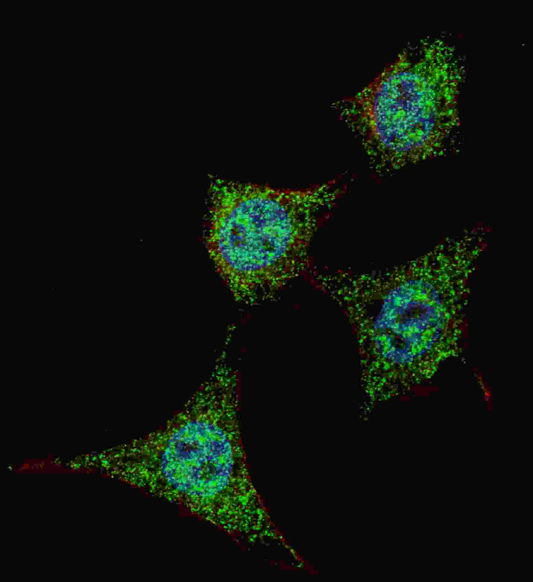 Phospho - Bad - S99 antibody (OAAB16007) in Hela cells using Immunofluorescence