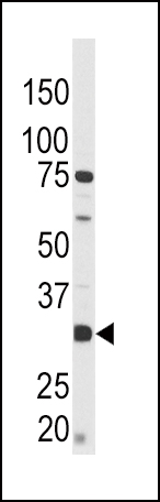 Phospho - CREB - S133 antibody (OAAB16032) in CEM cells using Western Blot