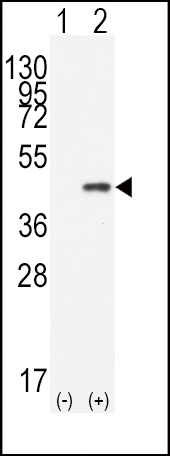 CDX2 antibody - N - terminal region (OAAB16487) in 293 cells using Western Blot