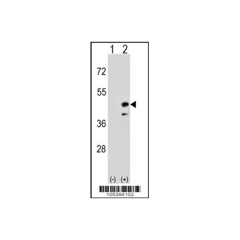 CKMT2 antibody - N - terminal region (OAAB16818) in 293 cells using Western Blot