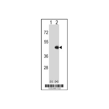 CKMT2 antibody - C - terminal region (OAAB16819) in 293 cells using Western Blot