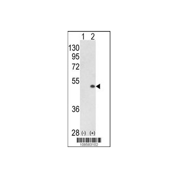 PCTAIRE1 (PCTK1) antibody - N - terminal region (OAAB16935) in 293 cells using Western Blot