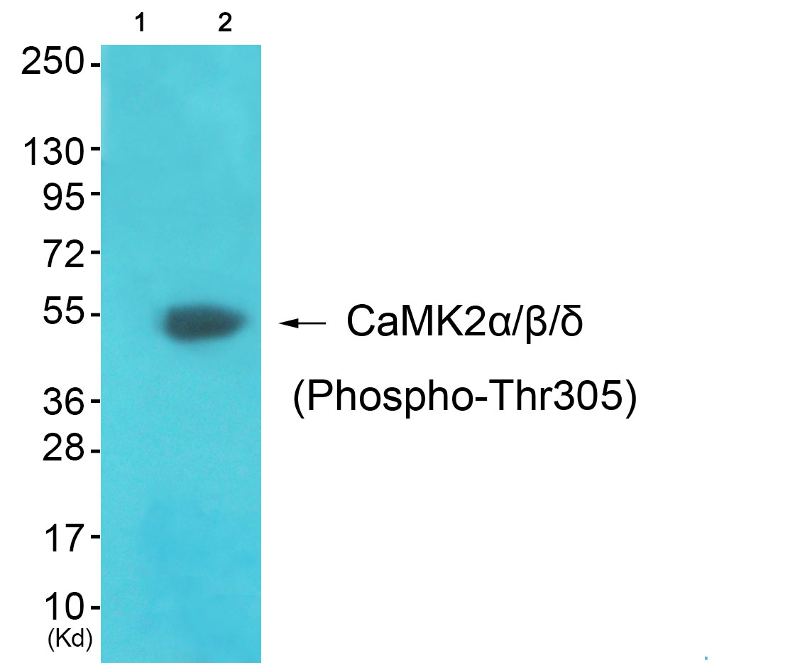 CAMK2A (Phospho-Thr305) Antibody (OAAF00005) in 3T3 cells using Western Blot