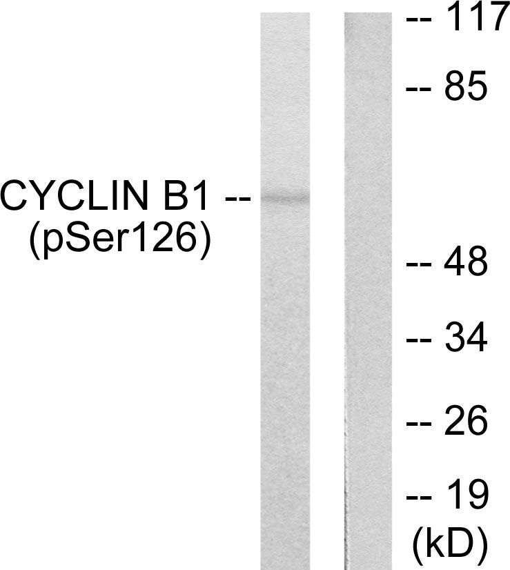 CCNB1 (Phospho-Ser126) Antibody (OAAF00044) in NIH-3T3 cells using Western Blot