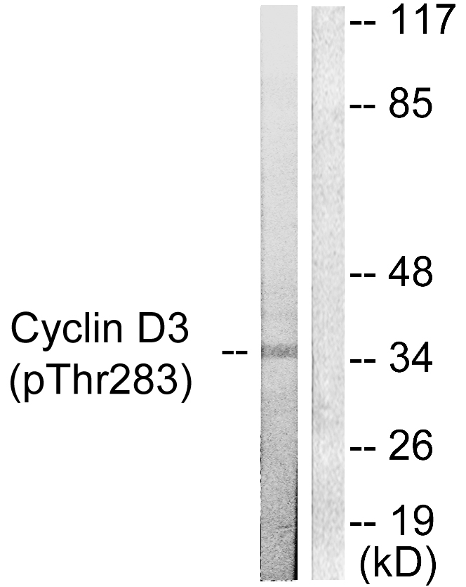 CCND3 (Phospho-Thr283) Antibody (OAAF00073) in K562 cells using Western Blot