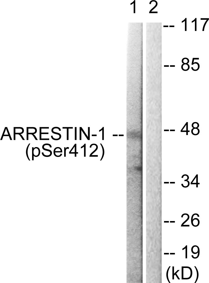 ARRB1 (Phospho-Ser412) Antibody (OAAF00087) in COS7 cells using Western Blot