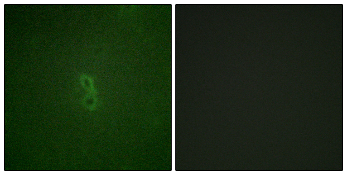 BCL2L1 (Phospho-Thr47) Antibody (OAAF00141) in NIH/3T3 cells using Immunofluorescence