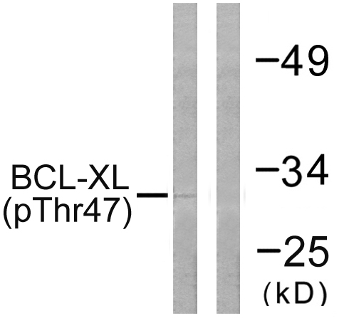 BCL2L1 (Phospho-Thr47) Antibody (OAAF00141) in 293 cells using Western Blot