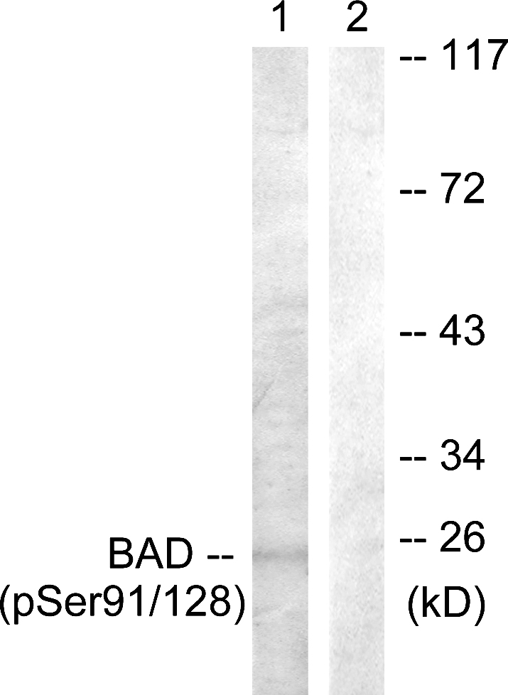 BAD (Phospho-Ser91/128) Antibody (OAAF00161) in COS7 cells using Western Blot