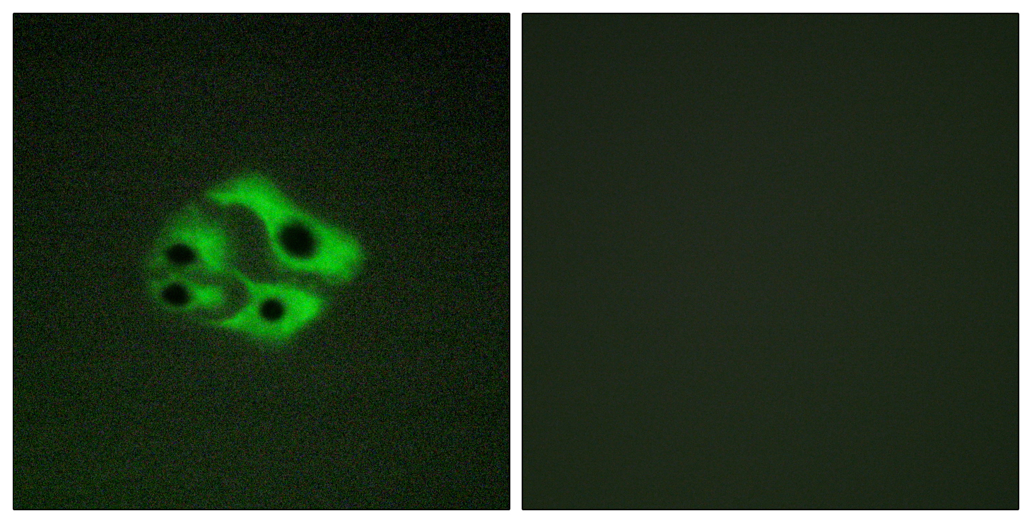 BAD (Phospho-Ser134) Antibody (OAAF00162) in HeLa cells using Immunofluorescence