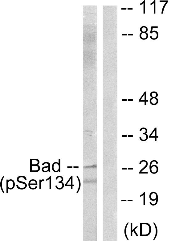 BAD (Phospho-Ser134) Antibody (OAAF00162) in Mouse liver cells using Western Blot