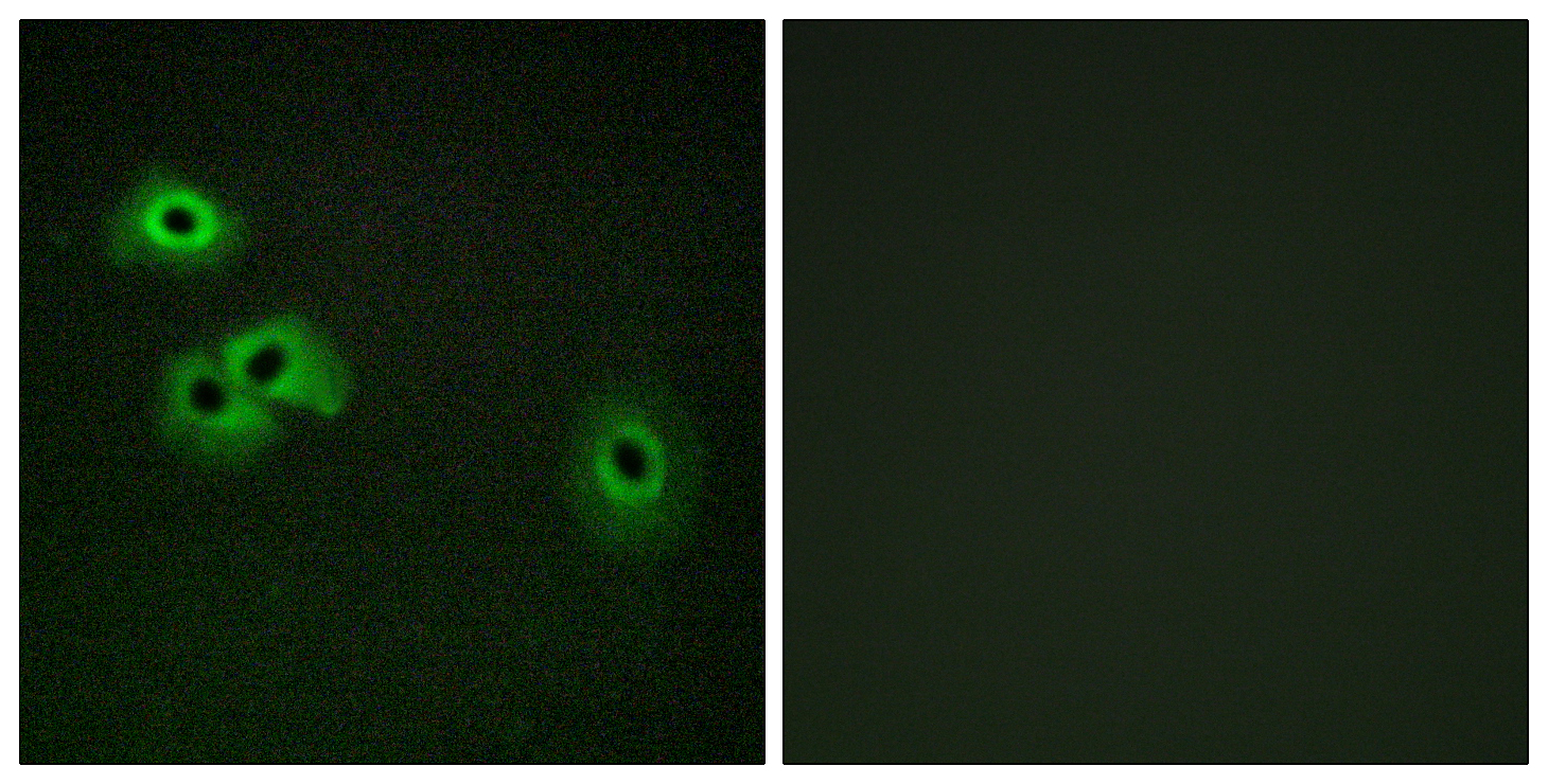 CALM1 (Phospho-Thr79+Ser81) Antibody (OAAF00166) in HepG2 cells using Immunofluorescence