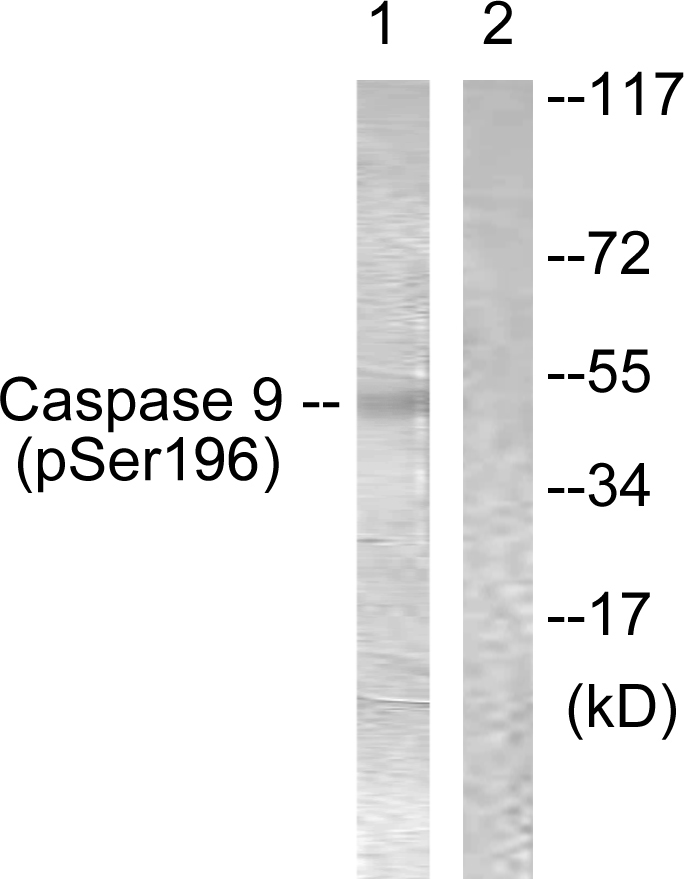 CASP9 (Phospho-Ser196) Antibody (OAAF00169) in 293 cells using Western Blot