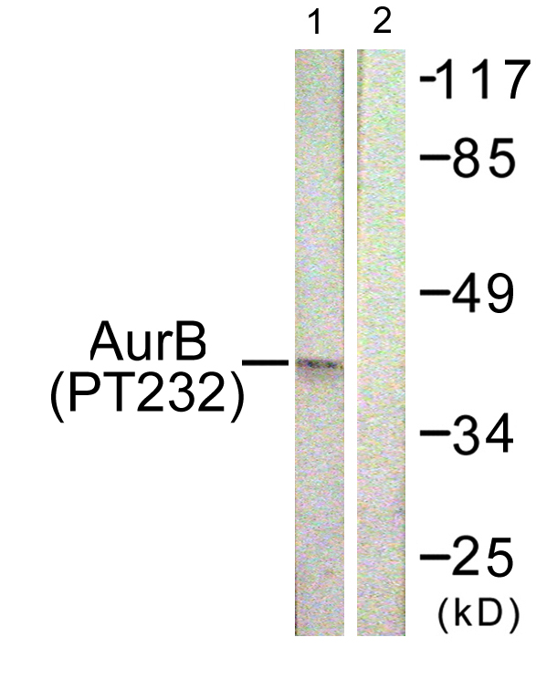 AURKB (Phospho-Thr232) Antibody (OAAF00211) in COS7 cells using Western Blot