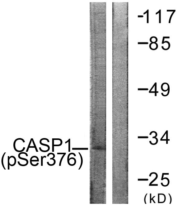 CASP1 (Phospho-Ser376) Antibody (OAAF00213) in 293 cells using Western Blot